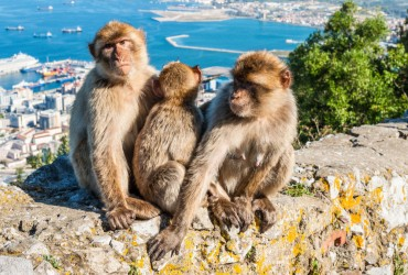 The Barbary Macaque monkeys of Gibraltar. The only wild monkey population on the European Continent. At present there are 300+ individuals occupying the Gibraltar nature reserve.